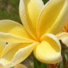 Plumeria Bali Gold Frangipani - Wachsblume Bali Gold Samen