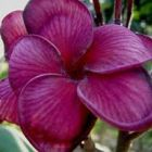 Plumeria Blurapa Frangipani - Wachsblume Samen