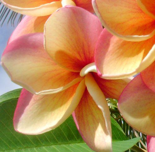 Plumeria Jupiter Frangipani - Wachsblume Samen