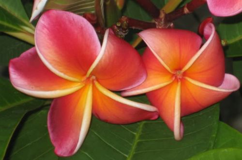 Plumeria Lurline Frangipani - Wachsblume Samen