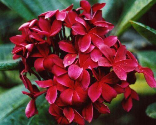 Plumeria Red Flower Frangipani - Wachsblume Red Flower Samen