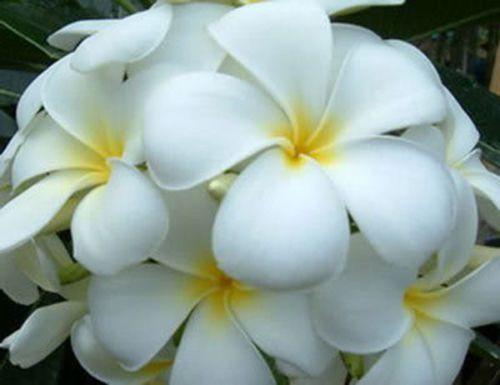 Plumeria Snowwhite Frangipani - Wachsblume Samen