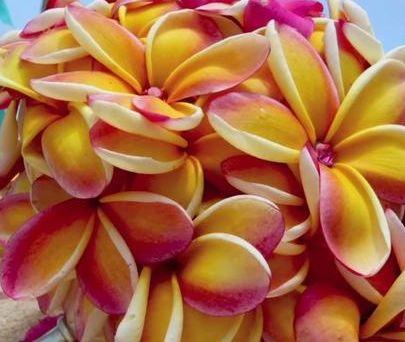 Plumeria rubra Rei Rainbow Frangipani - Wachsblume Samen