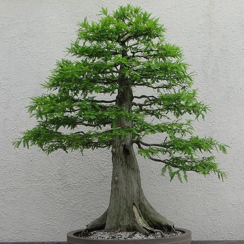 Podocarpus falcatus Podocarpus Samen