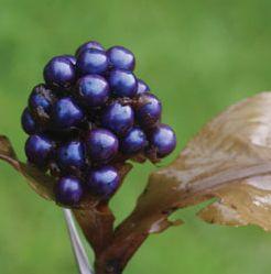 Pollia thyrsiflora  semillas