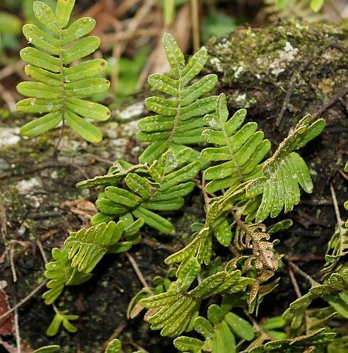 Polypodium thyssanolepis Tüpfelfarn Samen