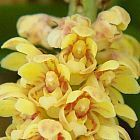 Pomatocalpa spicata Orchideen Samen