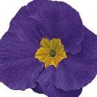 Primula vulgaris Primrose Daniella Blue F1 Primel Daniella Blue F1 Samen