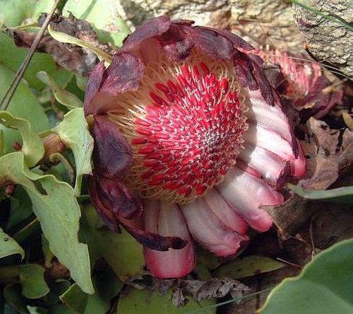Protea amplexicaulis Zuckerbusch Samen