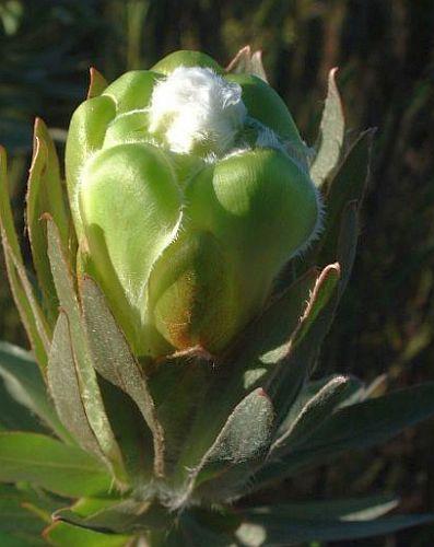 Protea coronata  Семена