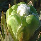 Protea coronata Gruener Zuckerbusch Samen