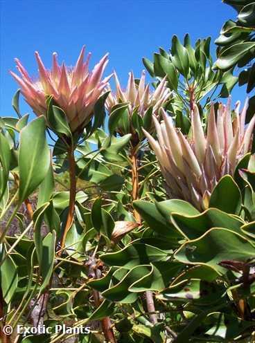 Protea cynaroides Königsprotea Samen