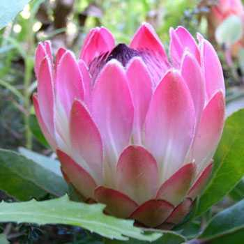 Protea eximia Протея исключительная Семена