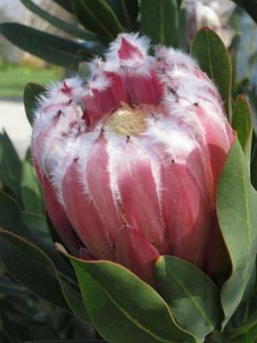 Protea grandiceps Roter Zuckerbusch Samen