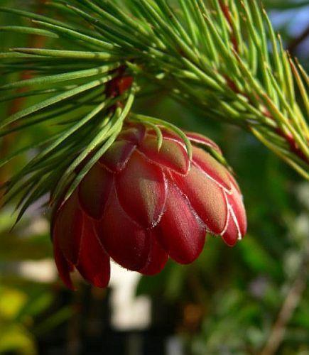 Protea nana Zuckerbusch Samen