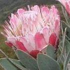 Protea subvestita Wasserlilien Protea Samen
