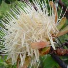 Protea welwitschii Zuckerbusch Samen