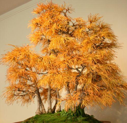 Pseudolarix amabilis Mélèze doré - bonsaï graines