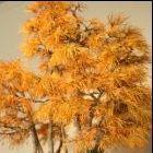 Pseudolarix amabilis Goldl?rche - Bonsai Samen