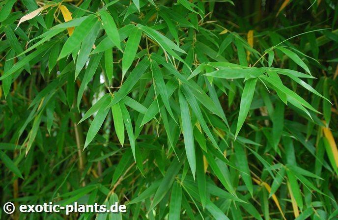 pseudosasa japonica bamboo seeds. Black Bedroom Furniture Sets. Home Design Ideas