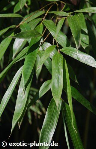 Pseudosasa japonica  semillas