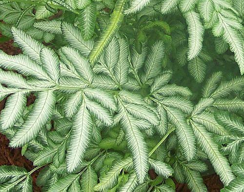 Pteris ensiformis silver lace fern sword brake fern 100 for Fern house plant seeds