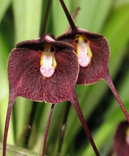 Purple monkey face Orchid Affengesicht Orchidee violett Samen