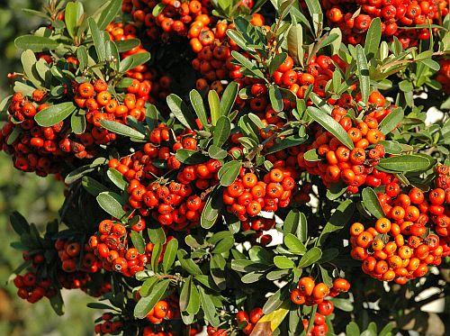 Pyracantha coccinea Mittelmeer-Feuerdorn Samen