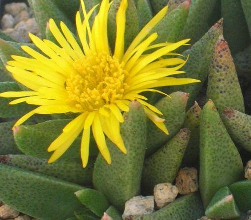 Rabiea albinota Aizoaceae Samen