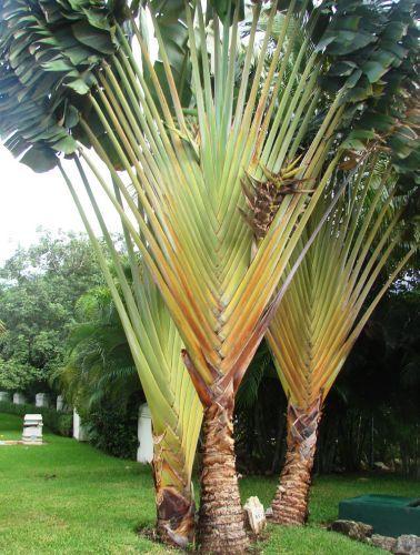Ravenala guyannensis  semillas