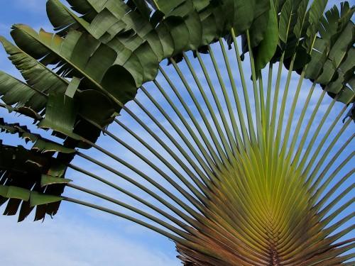 Ravenala madagascariensis Baum der Reisenden Samen
