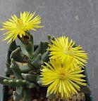 Rhombophyllum dolabriforme Sukkulente Samen
