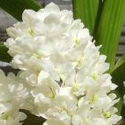 Rhynchostylis gigantea alba Orchideen Samen