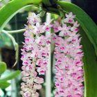 Rhynchostylis retusa Orchideen Samen