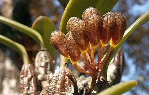 Rhytionanthos spathulatum Orchideen Samen