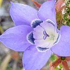 Roella ciliata Роэлла цилиата cемян