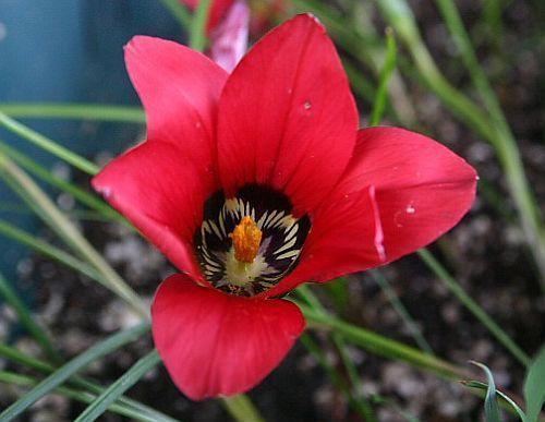 Romulea amoena Iridaceae semi