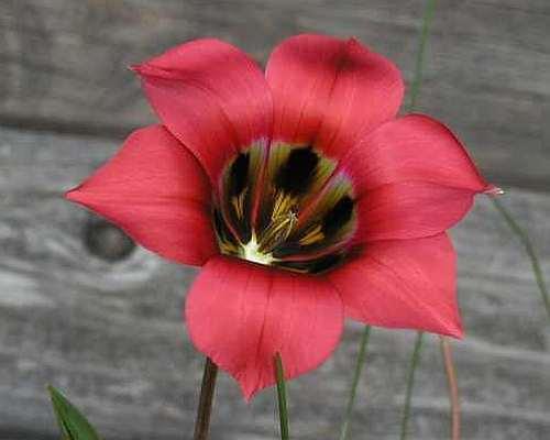 Romulea sabulosa Iridaceae  graines