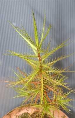 Roridula dentata planta carnívora semillas