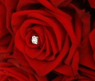 Rose Bride Rose dunkelrot Samen