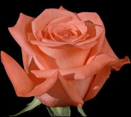 Rose Movie Star Rose lachsfarben Samen