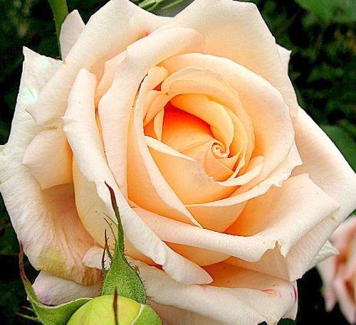 Rose Versilia Rose creme Samen