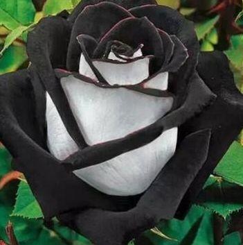 Rose black-white Rose weiß mit schwarzem Rand Samen