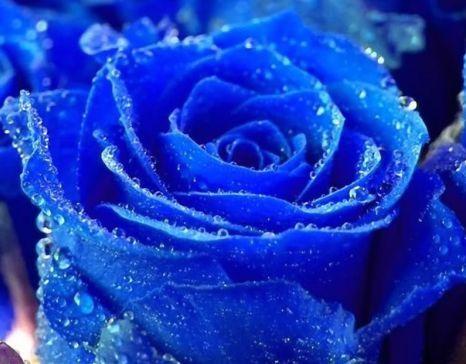 Rose blau  semillas