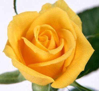 Rose gelb gelbe Rose Samen