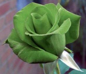 Rose gruen gruene Rose Samen
