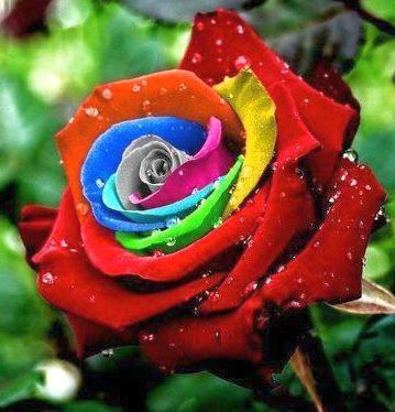 Rose regenbogen Rose colores del arco iris semillas