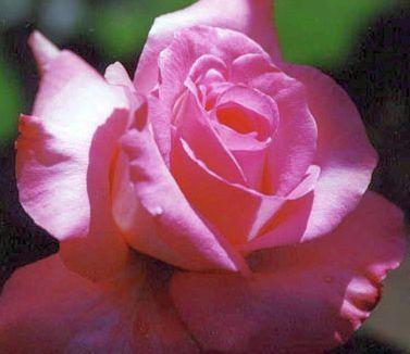Rose rosa Rose rosada semillas