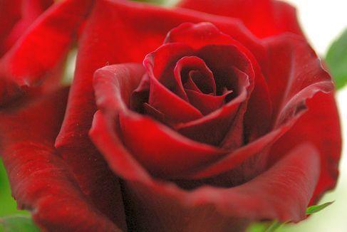 Rose rot Rose roja semillas