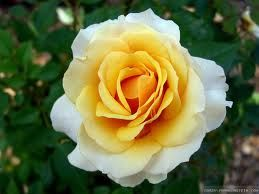 Rose yellow white  semillas